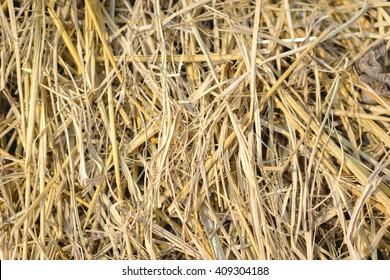 Close up of rice straw