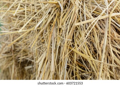 close up of rice straw at farm prepare for vegetable cover