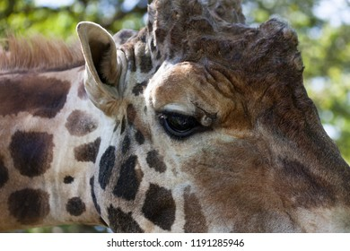 A close up of the right eye of a large adult giraffe with spring sunshine and a soft blurred background.