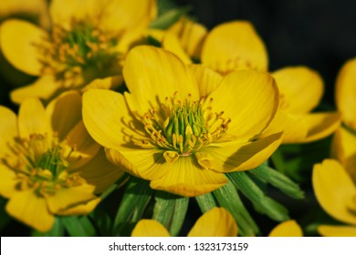 Close up of a right yellow anemone ranunculoides (yellow anemone, yellow wood anemone, buttercup anemone) flower group.