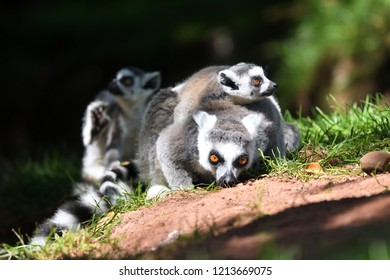 Close up of a ring tailed lemur (Lemur catta) with two babies