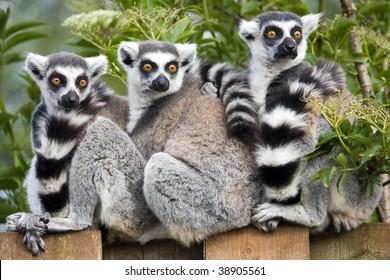 Close up of Ring Tailed Lemur (Lemur catta)