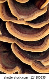 Close up of ringed polypore fungus growing on the side of a tree