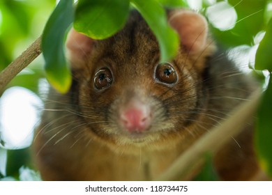 Close up of a ringtail possum, alert and facing the camera, slightly obscured by leaves. Shallow focus centered on the eyes.
