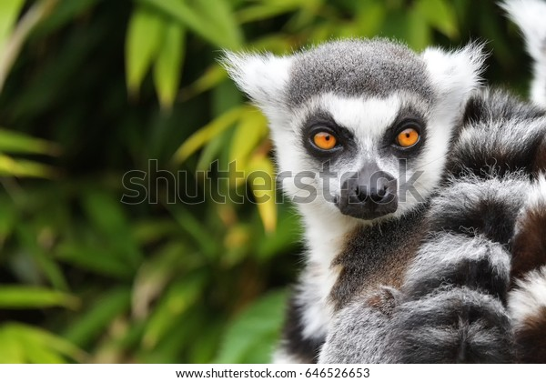 Close up of a ring-tailed lemur, Madagascar
