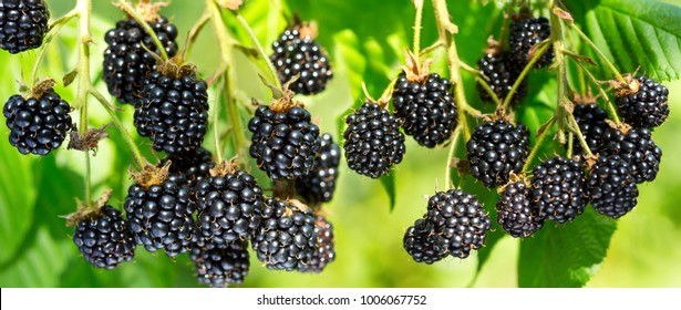 close up of ripe blackberry in a garden on green background