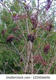 Close up of ripe fruit clusters of sambucus (elder, elderberry, black elder, European elder, European elderberry and European black elderberry) hanging on leafless shrubs in autumn. Poland, Europe