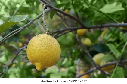 Close up of a ripe lemon hanging on a tree. Shallow depth of field. Blurred bokeh background.