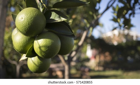 Close up of  ripe limes on the tree branch.