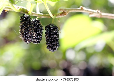 close up ripe mulberry