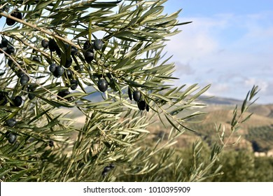 Close up of ripe olives ready to be harvested in world's biggest olive oil producing area close to Priego de Cordoba, Andalucia, Spain