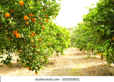 Close up of ripe organic multiple orange fruits on tree branch in local produce farm garden. Tangerine plantation growing cultivating yard, many trees full of fruitage harvest in sun light. Background