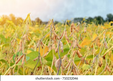 Close up of ripe soybean plants growing in a field. Soy agriculture
