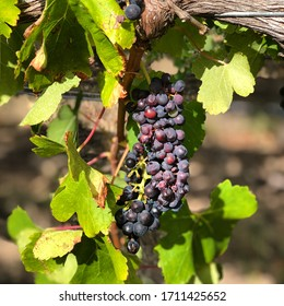 A close up of a ripening bunch of red wine grapes