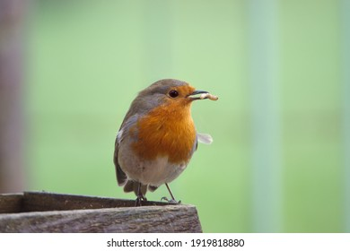 close up of a robin red breast on a wooden bird feeder table eating a mealworm in the afternoon sunshine