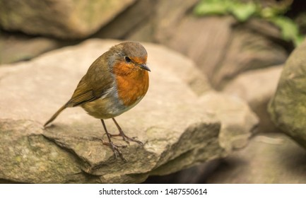 Close up of a robin standing on stone