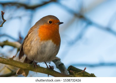 Close up of a robin in a tree