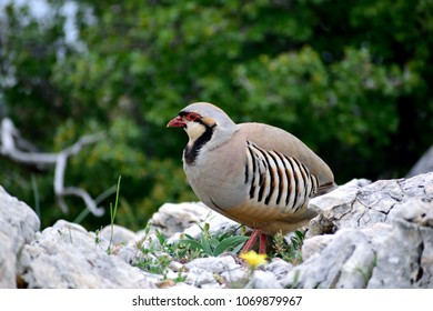 Close up of the Rock partridge bird(Alectoris graeca).