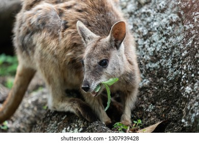 Close up of a Rock Wallaby in Australia
