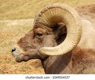 close up of rocky mountain bighorn sheep ram in waterton canyon, littleton, colorado