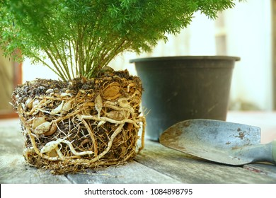 Close up roots and bulbs of plant (Asparagus meyeri, Foxtail Fern) are full of pot. Time to change the big pot. Natural life. Abundance of tree.