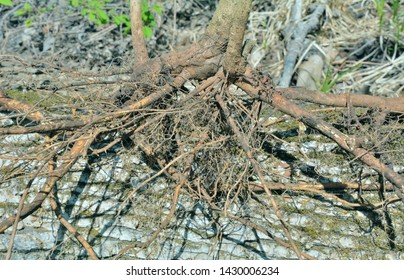 A close up of the roots medicinal plant (Eleutherococcus senticosus).
