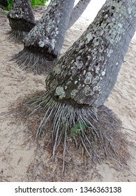 Close up of the roots of the palms at Palm Cove Beach. Cairns, Queensland, Australia
