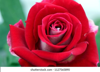 close up of Rosa Mister lincoln, red rose in the garden, very beautiful rose in the garden. A red rose is an expression of love.  Red roses usually show deep feelings, like love, longing, or desire