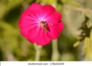 Close up of Rose Campion flowerhead with pollinating hoverfly