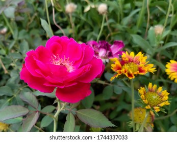 close up of Rose flower bloom - yellow red flowers