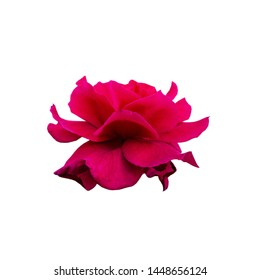 Close up  Rose flower on white background.