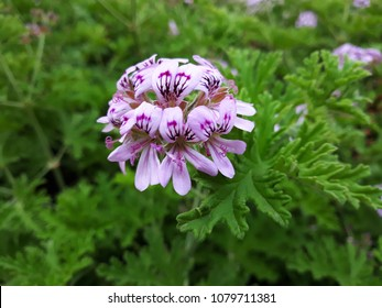 Close up of Rose Geranium (Pelargonium Graveolens) flower