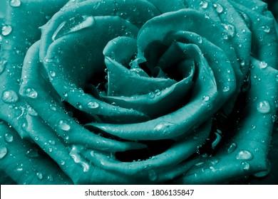 Nahaufnahme von Rosenblättern