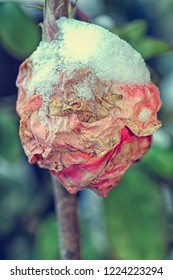 Close up of rosebud covered in ice and snow