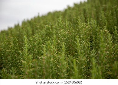 close up of Rosemary plants