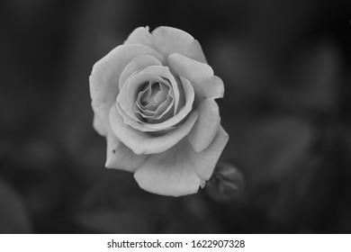 Close up of roses, in black and white.