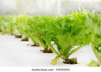 Close up of row of green frillice grow on white foam by Hydroponics which is a subset of hydroculture, the method of growing plants without soil, using mineral nutrient solutions in a water solvent