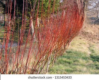 Close up of a row of shrubs with red branches of Cornus alba (red-barked, white or Siberian dogwood). Poland, Europe