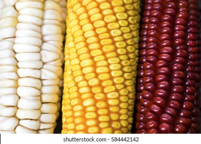 Close up of rows grain of varieties maize, corn from organic, permaculture  garden, yellow and red on rustic wooden table