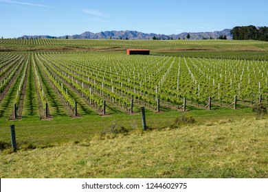 Close up of rows of grapevines growing  in the Awatere Valley, Blenheim,with red shed and distant mountains in the South Island, New Zealand.