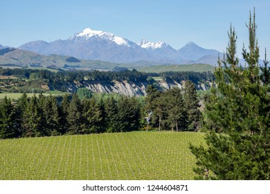 Close up of rows of grapevines growing  in the Awatere Valley, Blenheim,with distant mountains, trees, and blue sky in the South Island, New Zealand.