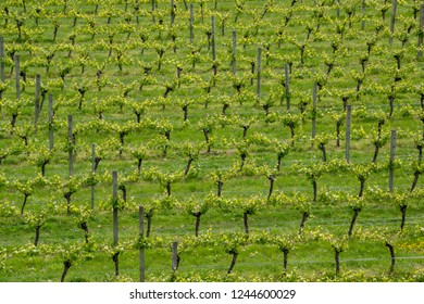 Close up of rows of grapevines growing  in Blenheim, South Island, New Zealand.
