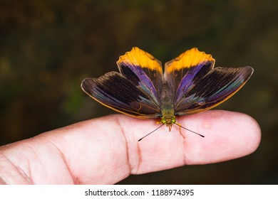 Close up of Royal Assyrian (Terinos terpander) butterfly on human finger, dorsal view