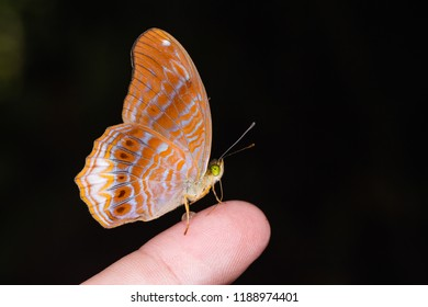Close up of Royal Assyrian (Terinos terpander) butterfly on human finger, lateral view