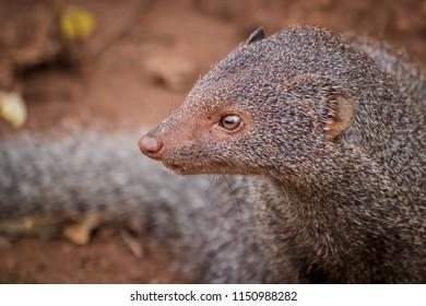 Close up of  ruddy mongoose, Herpestes smithii.