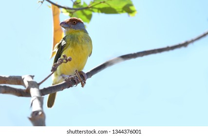 Close up of a Rufous-browed Peppershrike (Cyclarhis gujanensis) flycatcher on a tree branch