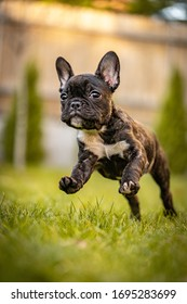 Close up of a running cute french bulldog puppy.
