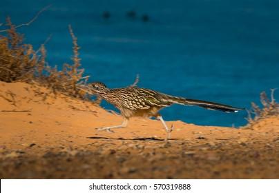 Close up of a running Greater Roadrunner bird Geococcyx californianus