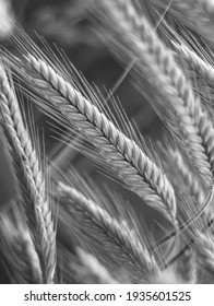 Close up of rye ears growing on the field. Summer landscape. Agriculture harvest. Countryside background. Grain for rye flour. Agribusiness. Selective focus.Corn and grain natural background, bw photo