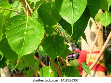 Close Up of Sacred Fig, Bodhi Tree or Ficus Religiosa in A Temple, The Simbolic of Buddhism.